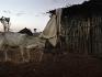 Una donna trascina un vitello all'interno della stalla dopo la mungitura.