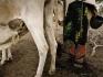 Nei periodi di siccità quando le vacche sono estremamente denutrite il massimo che si può ottenere dalla mungitura è circa mezza tazza di latte.