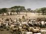 Durante la lunga siccità, nelle aride terre Borana nel sud dell'Etiopia, mandrie giunte da molto lontano si assembrano all'ingresso di un pozzo perenne nella zona di Erdar.